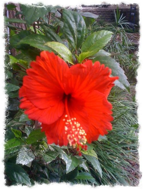 Red Hibiscus Riverwalk