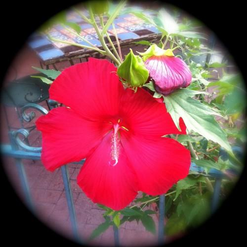 Margarita Red Hibiscus