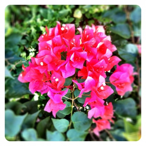 Yet Another Bougainvillea