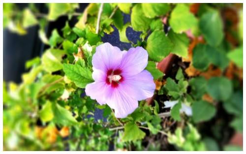 Mi Tierra Purple Heart
