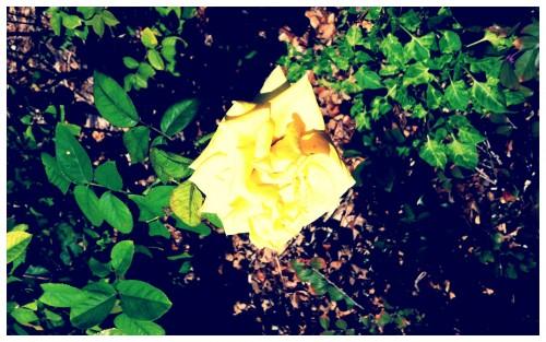 Courtyard Yellow Rose