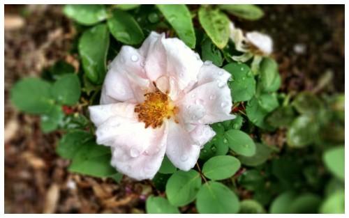Wet Courtyard Rose