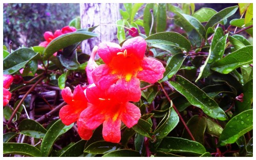 Red Bells in Rare Rain
