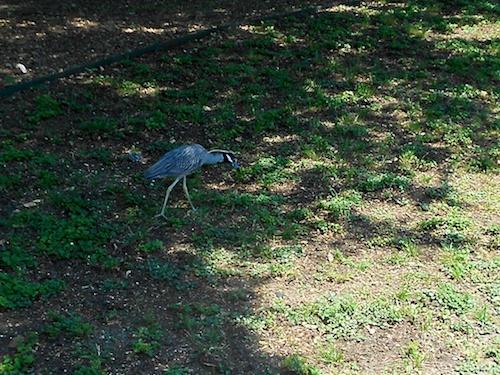 Crowned-Night Heron