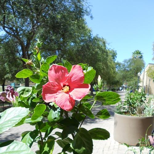 Red Hibiscus Hemisphere Plaza 1