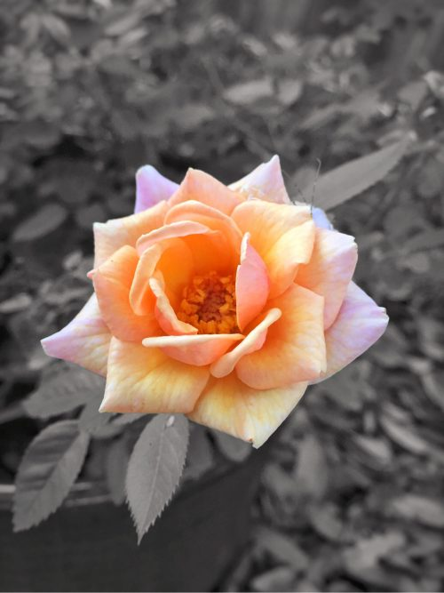 Backyard Tea Rose