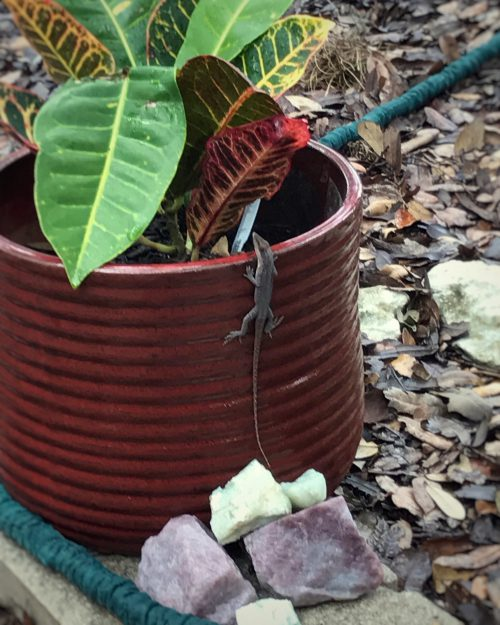 Big Lizard in my Backyard