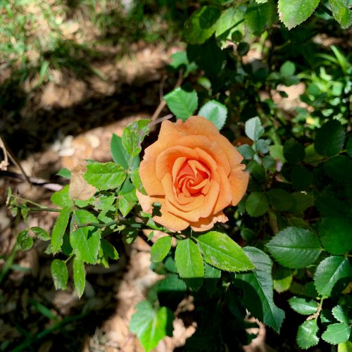 Yet Another Backyard Rose